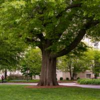 Oldest Oak Tree